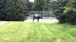 Moose hangs out in popular Fredericton park.