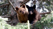 Charlie and Maskwa have been returned to the wild after a year at the Cochrane Ecological Institute