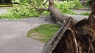 Huge tree falls in downtown Vancouver