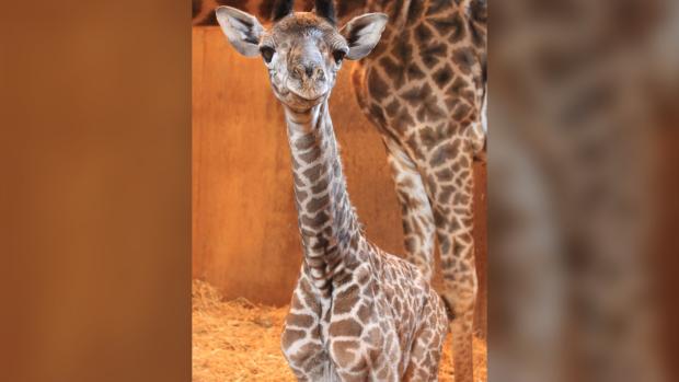 Mstari masai giraffe