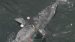 Right whale found dead in Gulf of St. Lawrence
