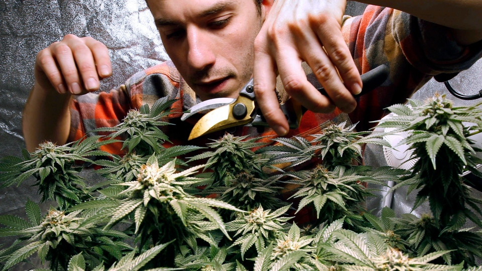 In this Dec. 13, 2017, file photo, James MacWilliams prunes a marijuana plant that he is growing indoors in Portland, Maine. (AP Photo/Robert F. Bukaty, File)