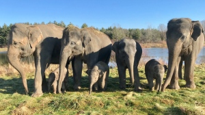 Elephants at African Lion Safari, from L to R: Natasha, Sunita, Opal, Onyx, Nellie, Luna and Lily.