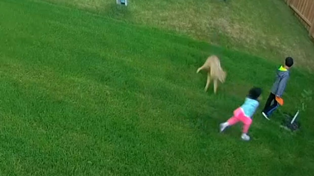 A coyote is seen in security camera video pouncing on a small child in a backyard in Aurora.