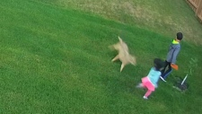 Coyote pounces on child in Aurora, Ont.