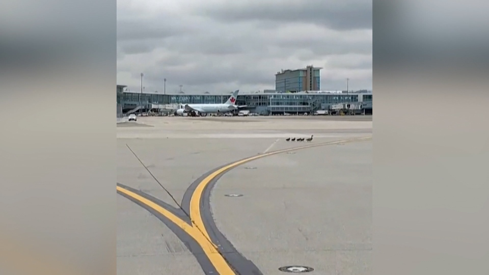 A mother duck and four ducklings waddle down the tarmac at Vancouver International Airport on June 20, 2019. (Submitted)