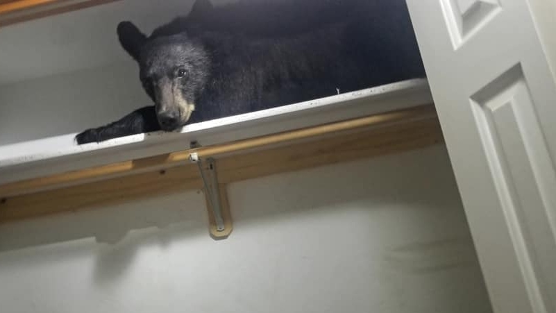 A black bear that broke into a Montana home was found comfortably sleeping in a closet after ripping apart the residence. (Missoula County Sheriff's Office)