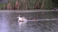 Steve Kennedy said he was watching wildlife after a thunderstorm on June 17 when he happened to catch on video the moment another man appeared to shoot a type of firework at a swimming swan. (Courtesy: Steve Kennedy)