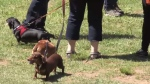 Cuteness overload at Dartmouth fundraiser for Atlantic Dachshund Rescue.