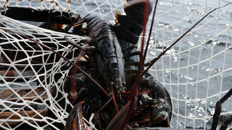 A lobster in a trap is shown in this undated file photo. (THE CANADIAN PRESS/HO - Inka Milewski)