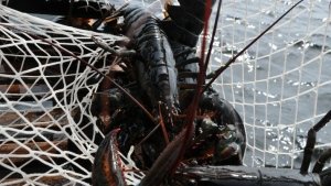 A lobster is shown in a trap in Port Mouton, N.S., in this undated handout photo. THE CANADIAN PRESS/HO - Inka Milewski