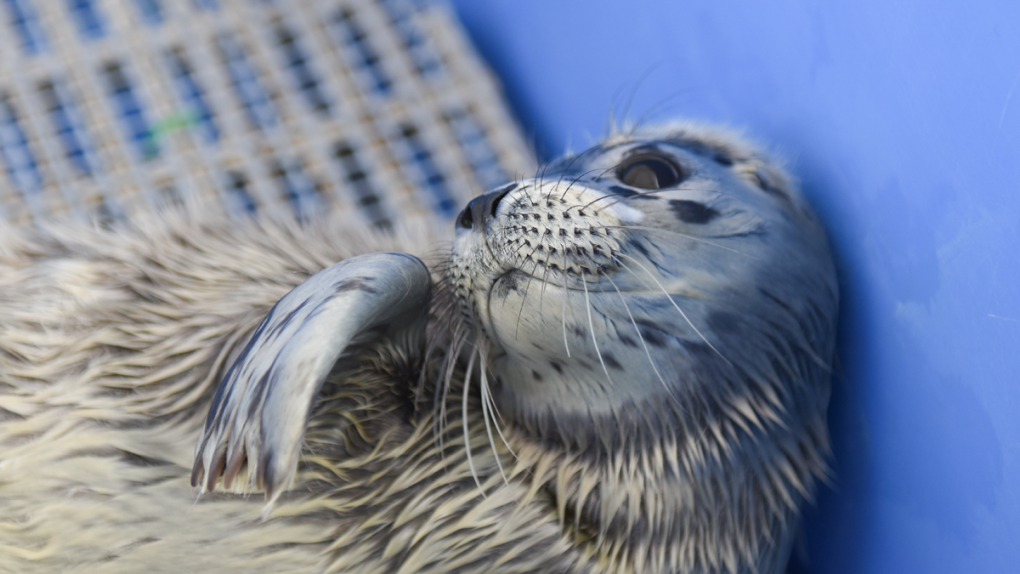 Seal pup rescued by Vancouver Aquarium