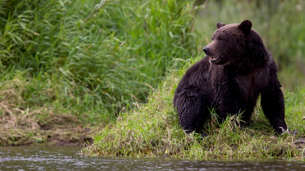 A grizzly bear in B.C.