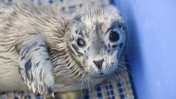 "The Vancouver Aquarium's Marine Mammal Rescue Centre chose an ocean puns theme for naming this year's rescued seal pups, and the two new additions don't disappoint. <br><br> Photos from the facility show Meghan Mackerel and Prince Herring. <b><a href=""https://bc.ctvnews.ca/meghan-mackerel-prince-herring-rescued-seals-named-after-royal-parents-1.4480768"" target=""_blank"">Read their stories here</a>.</b>"
