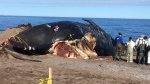 DFO biologists and marine specialists examine a dead North Atlantic right whale on a beach in Petit Etang, N.S., on June 25, 2019. (Kyle Moore/CTV Atlantic)
