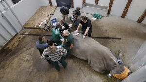 FILE - In this Wednesday, Feb. 13, 2019 file photo, a team of experts harvest eggs from a female southern white rhino, 17-year-old Hope, at a zoo park in Chorzow, Poland. (Petr David Josek / AP)