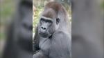 Jasiri, a western lowland gorilla, arrived at the Calgary Zoo from Zoo Atlanta.