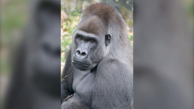 Jasiri western lowland gorilla Calgary Zoo