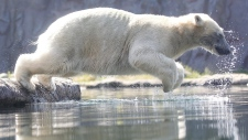 Polar bear Nanook jumps into the water at the zoo in Gelsenkirchen, Germany, June 25, 2019. Germany faces a heatwave with temperatures up to 40 degrees Celsius. (Roland Weihrauch / dpa via AP)