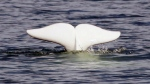 A beluga whale was seen in the Charlottetown harbour last Thursday and more sightings were reported in the North, Hillsborough and West Rivers in the area over the weekend. (FILE / THE CANADIAN PRESS/Jacques Boissinot)