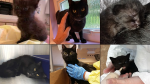 The BC SPCA says it could take months of behaviour modification before the approximately 40 cats taken from an alleged animal hoarder in Vancouver can be re-homed. (Handout)