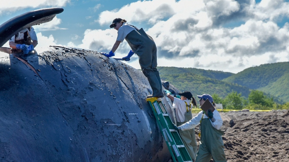 A North Atlantic right whale found dead last week in the Gulf of St. Lawrence has been brought to shore on western Cape Breton for a necropsy. The 40-year-old female whale named Punctuation, was towed late Monday, June 24, 2019 to Petit Etang, N.S. (THE CANADIAN PRESS/HO, DFO/Fisheries and Oceans Canada)