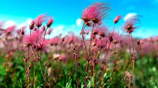 A day in Prairie Smoke near Brookdale Manitoba. Photo by Stino Scaletta.