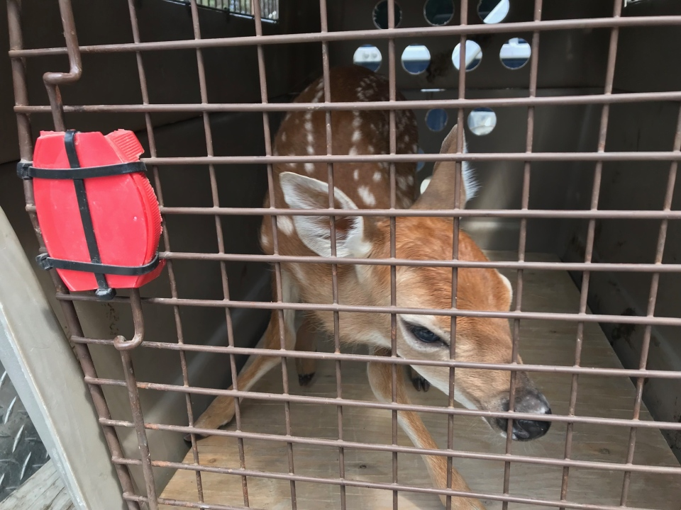 Kruger took the young deer and drove it to the location where the man said it was found.