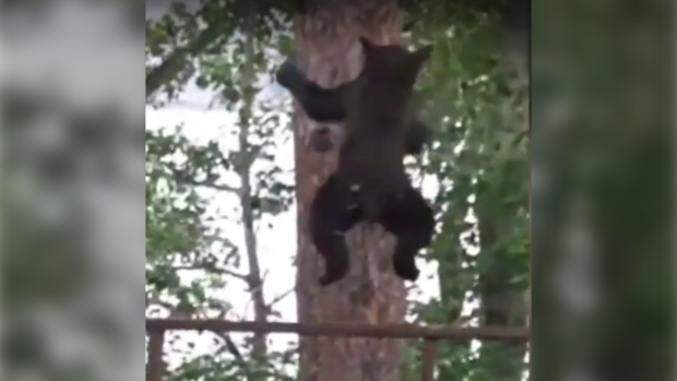 Video: Acrobatic black bear jumps from backyard deck to tree