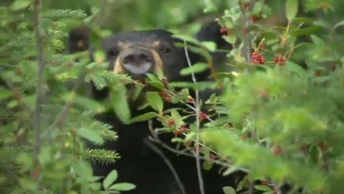 Increased black bear activity in the Kejimkujik Seaside Adjunct has prompted Parks Canada to temporarily close that section of the national park.