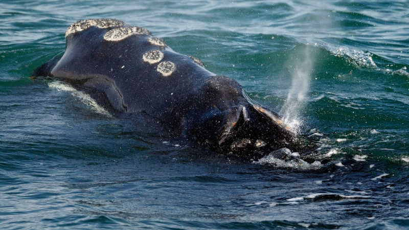 FILE - In this March 28, 2018 file photo, a North Atlantic right whale feeds on the surface of Cape Cod bay off the coast of Plymouth, Mass. (AP / Michael Dwyer, File)
