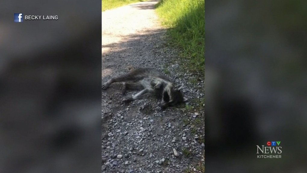 Guelph resident warns pet owners of sick raccoon on trails