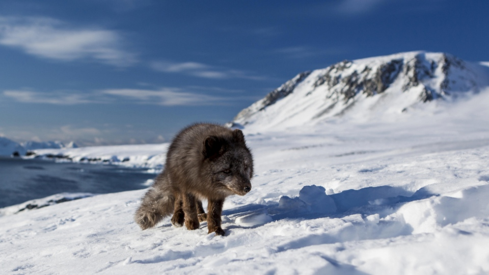 Arctic foxes travel great distances over sea ice to breed and find new food sources, according to the researchers. (Jon Leithe / Norwegian Polar Institute)