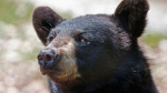 A black bear in captivity awaits handouts at the the Maine Wildlife Park in Gray, Maine, July 25, 2014. (AP / Robert F. Bukaty)