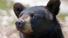 North Shore Black Bear Society CTV interview