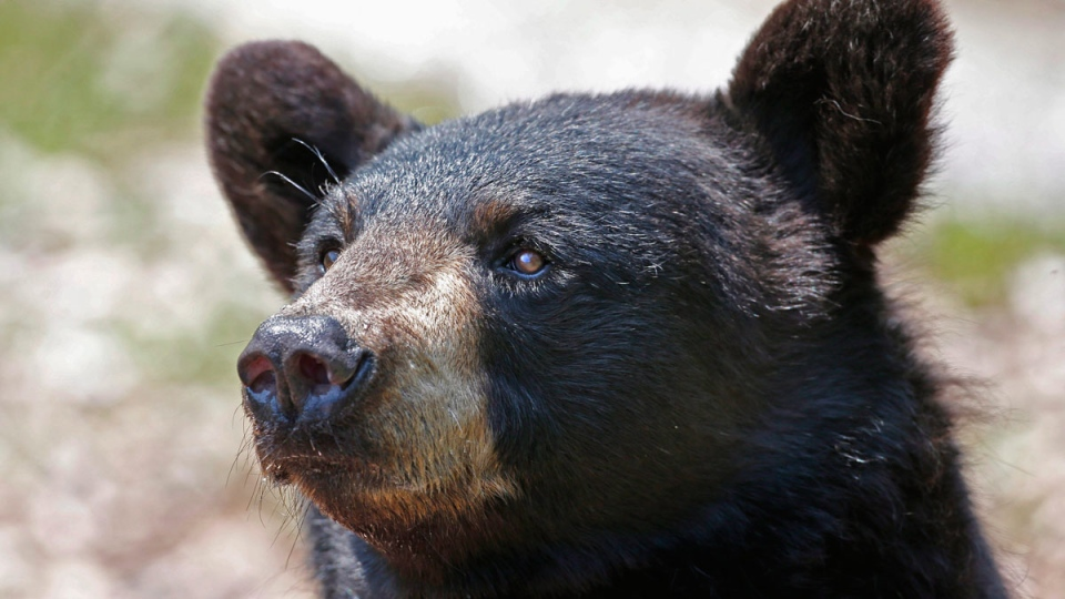 A black bear is seen in this file photo. A bear nipped at a hiker on the Lake Agnes horse trail near Lake Louise, prompting a warning from officials.