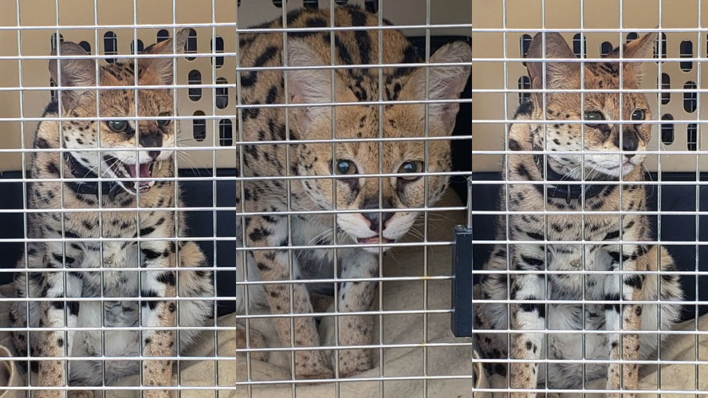 13 Exotic Cats Seized From B C Breeder After Being Found In Horrific Conditions Spca Ctv News
