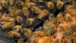 These are just some of the bees Ron Miksha has kept in his backyard for years.