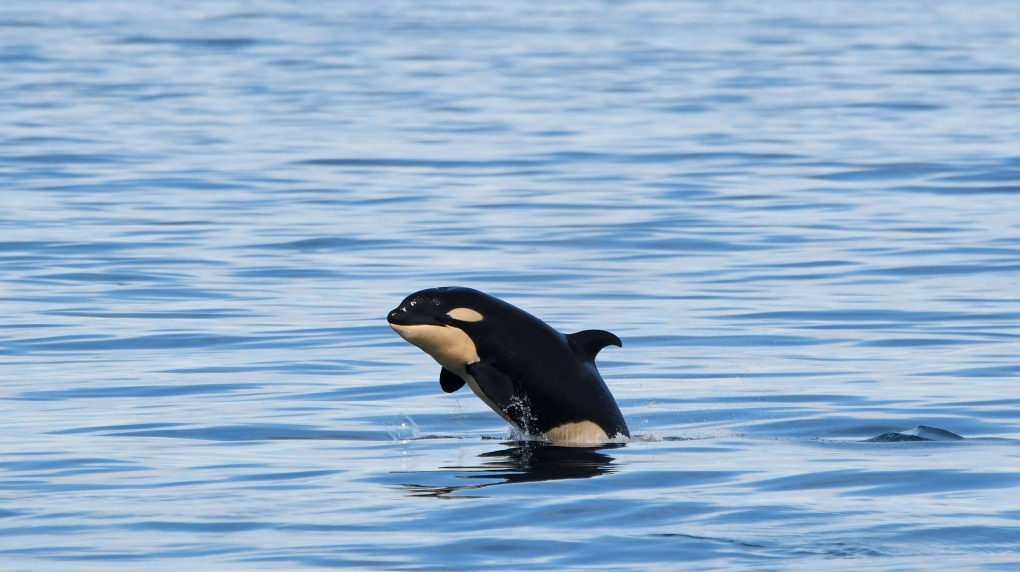 It's a girl: New orca calf identified off Victoria