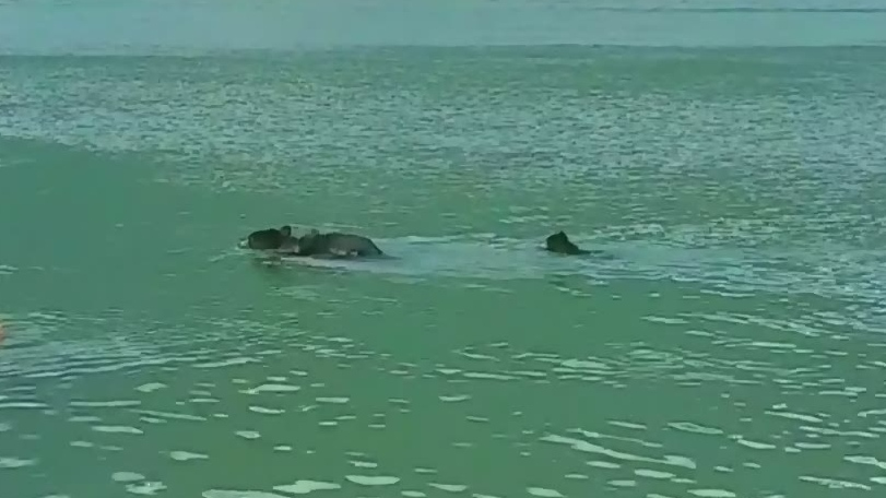 Watch as a mother black bear swims to her cubs' rescue in a B.C. lake