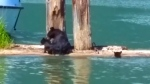 Mother bear saves cub from drowning in B.C. lake
