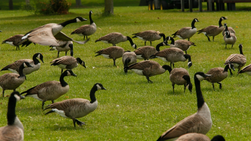Canada geese graze on the lawn at LaSalle Park in Buffalo, N.Y., Friday, Aug. 30, 2013. (AP Photo/The Buffalo News, Derek Gee)