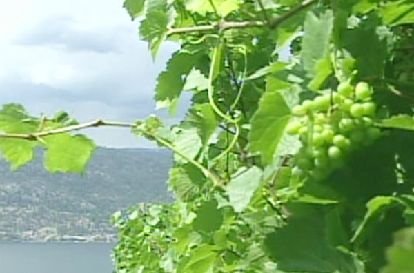 Wine grapes grow in the Okanagan Valley as the Terrace Mountain fire burns in the distance in Kelowna, B.C.