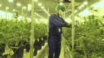 A worker tends to one of the more than 600 cannabis plants in one of the growing rooms at Zenabis in Stellarton.