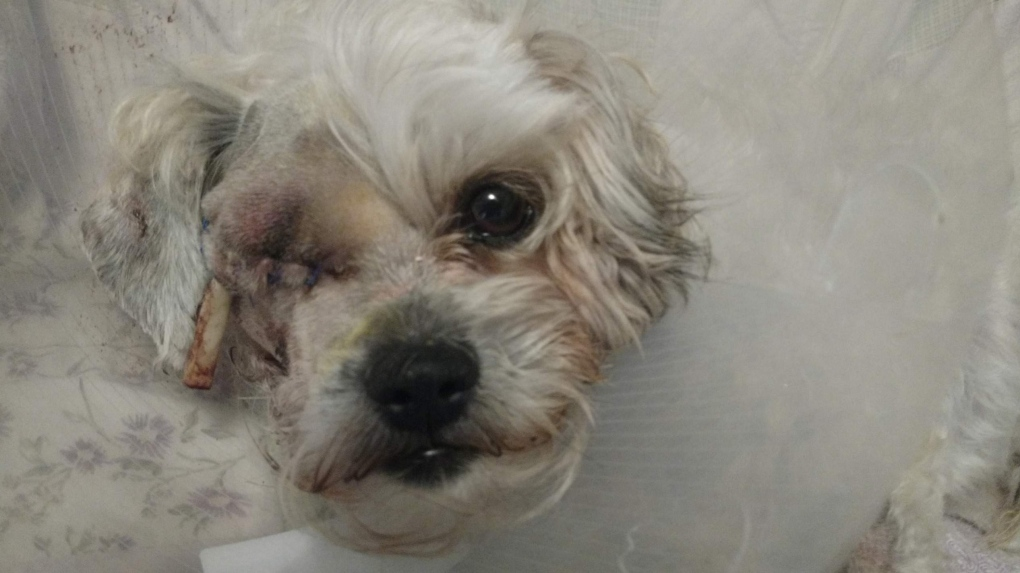 'I panicked': LaSalle dog owner shocked after dog loses eye in coyote attack