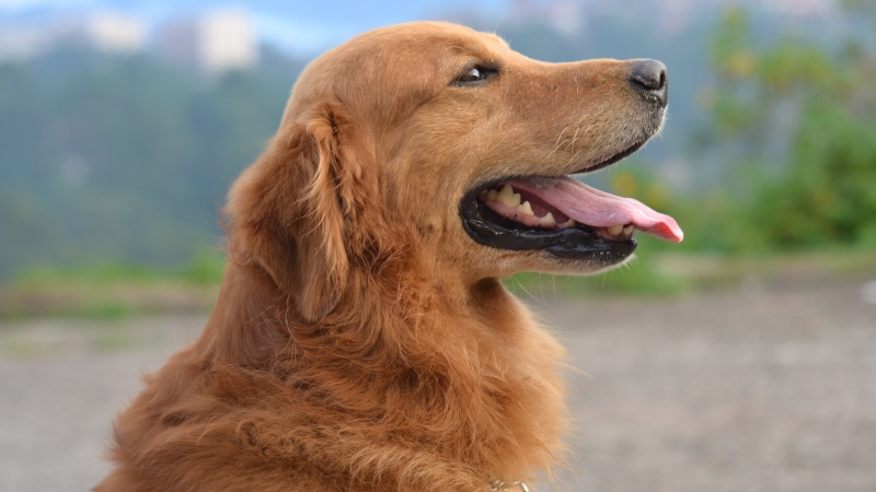 Golden retrievers show up often in reports of DCM, but the FDA says this is likely because their owners have greater awareness of the disease thanks to information spread via social media groups. (Garfield Besa / Pexels)