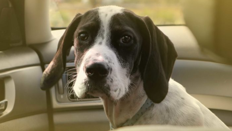 The BC SPCA is reminding dog owners about how quickly a hot car can turn deadly. (BC SPCA)