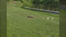 Dead goose at the Sandpiper Golf & Country Club