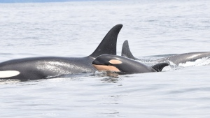 Southern resident killer whale J31 is seen with her new calf along the West Coast of Vancouver Island. (Department of Fisheries and Oceans Canada)