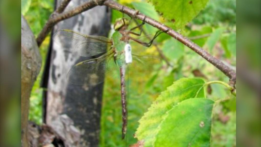 Dragonfly fanny packs
